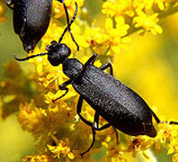 Cover photo for NCDA&CS Identifies Alfalfa Hay Contaminated With Blister Beetles