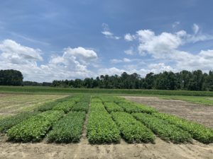 Cover photo for Webinar RECORDING: Mid-Season Soybean Management